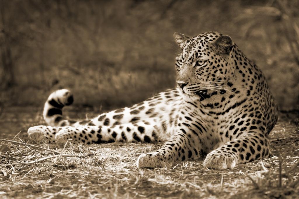 "3D Фотообои ""Леопард сепия"""