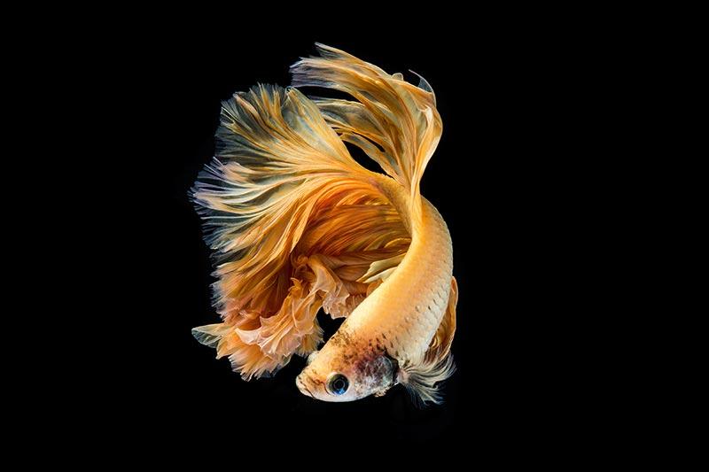 """Фотообои """"3D Фотообои """"Золотая рыбка"""""""""""