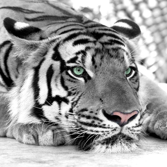 """3D Фотообои  """"Тигр черно-белые"""""""